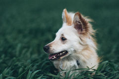 在领域的白色小犬座 库存图片