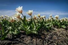 在领域的白色郁金香与在Keukenhof附近的蓝天 库存图片