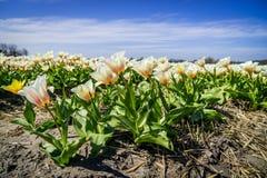 在领域的白色郁金香与在Keukenhof附近的蓝天 免版税库存照片