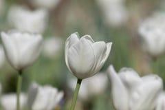在领域的白色郁金香 免版税库存照片