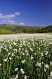 在领域的白色水仙在春天 免版税库存照片