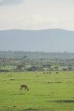 在领域的瞪羚 免版税库存照片
