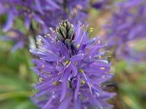 在领域的紫色花 免版税图库摄影