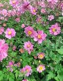 在领域的紫色银莲花属Hupehensis花 库存图片