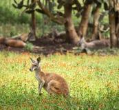 在领域的红色袋鼠与其他袋鼠在背景中 免版税库存图片
