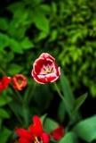 在领域的红色郁金香 库存照片