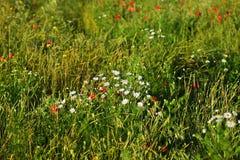 在领域的红色鸦片在一个晴朗的夏日 图库摄影