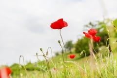 在领域的红色鸦片花,标志为记忆天 库存图片