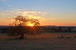 在领域的绵羊在日落 库存图片
