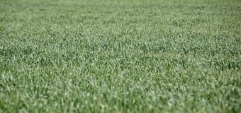 在领域的绿色麦子在春天 免版税库存图片