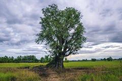 在领域的罗望子树 免版税图库摄影