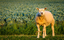 在领域的羊羔在春天期间 库存照片