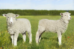 在领域的羊羔 免版税图库摄影
