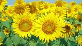 在领域的美丽的向日葵与浅兰的天空 影视素材
