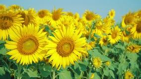 在领域的美丽的向日葵与浅兰的天空 股票视频