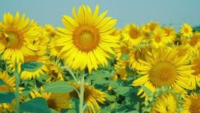 在领域的美丽的向日葵与浅兰的天空 股票录像