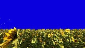在领域的美丽的向日葵在日出 领域用向日葵、蝴蝶和昆虫在夏天在a前面 影视素材