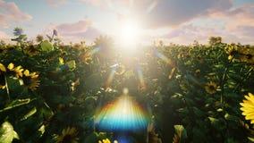 在领域的美丽的向日葵在日出 领域用向日葵、蝴蝶和昆虫在春天 股票视频