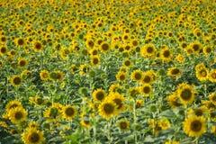 在领域的美丽的向日葵晴天 库存图片