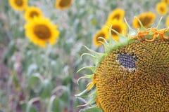在领域的美丽的向日葵 免版税库存图片