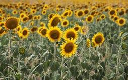 在领域的美丽的向日葵 免版税库存照片