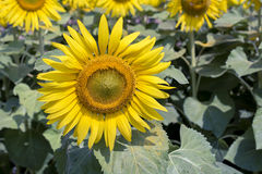 在领域的美丽的开花的太阳花 免版税库存照片