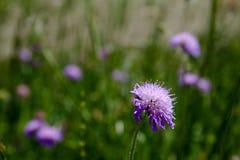 在领域的美丽的开花的紫罗兰色花 库存照片