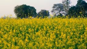 在领域的美丽的有机黄色芥末花, 免版税库存图片