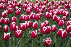 在领域的美丽的桃红色白色郁金香 免版税库存图片