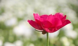 在领域的美丽的毛茛属花在明亮的洋红色颜色开花 免版税图库摄影