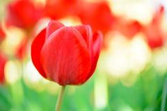 在领域的美丽的红色郁金香 花图象有明亮的背景 图库摄影