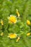 在领域的美丽的黄色花 库存照片