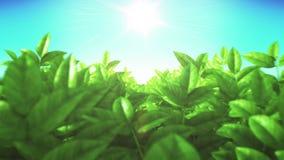 在领域的美丽的绿色醉汉叶子 通过移动 太阳发光 使成环的3D动画 HD 1080 皇族释放例证