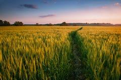 在领域的美好的日落与小径、春天风景、明亮的五颜六色的天空和云彩作为背景,绿色麦子 免版税图库摄影