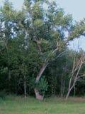 在领域的老古老白杨树 库存图片