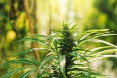 在领域的耕种的工业大麻大麻 免版税库存照片
