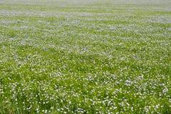 在领域的胡麻开花,胡麻的许多花,成长的自然条件 库存图片