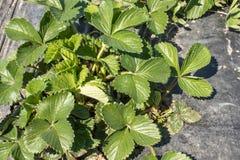 在领域的草莓叶子 草莓在行的领域增长 免版税库存照片