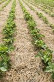 在领域的草莓植物 免版税库存图片