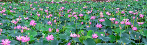 在领域的莲花开花的季节 库存照片