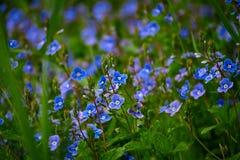 在领域的蓝色花 库存照片