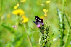 在领域的蝴蝶 图库摄影