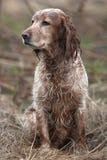 在领域的西班牙猎狗 图库摄影