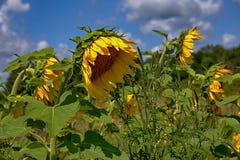 在领域的许多向日葵 免版税库存照片