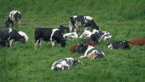 在领域的许多母牛 股票录像
