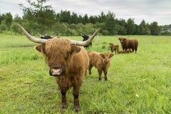 在领域的逗人喜爱的红色苏格兰高地母牛身分在害羞地凝视她的小牛旁边 库存照片