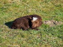 在领域的逗人喜爱的羊羔 库存图片