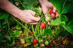 在领域的采摘草莓 免版税库存照片