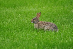 在领域的野生兔子 免版税库存图片