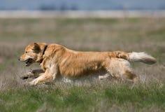 在领域的金毛猎犬 免版税库存图片